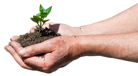 earth handful: farmer handful with soil and green sprout isolated on white background
