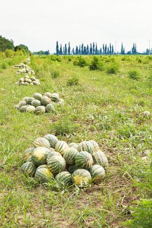 melon field: heaps of ripe watermelons on melon field in summer
