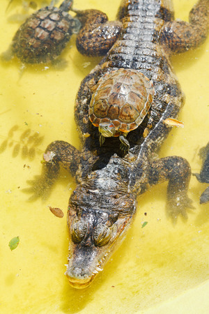 red-eared slider turtle over alligator in yellow water photo