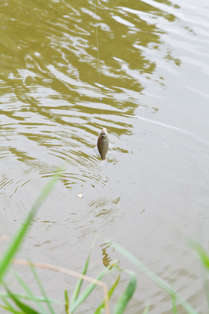 kuban: fished small bream hanging on fishing hook over the river, Kuban, Russia