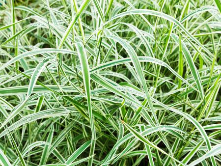 carex: wet green blades of Carex morrowii Variegata decorative grass after rain
