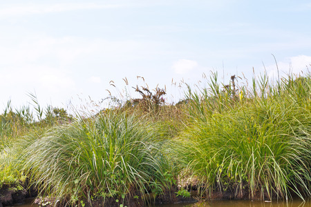 parc naturel: green carex on shore of Briere Marsh in Briere Regional Natural Park, France