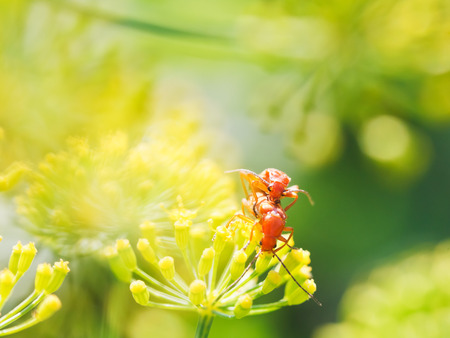incest: two soldier beetles in garden grass in summer day