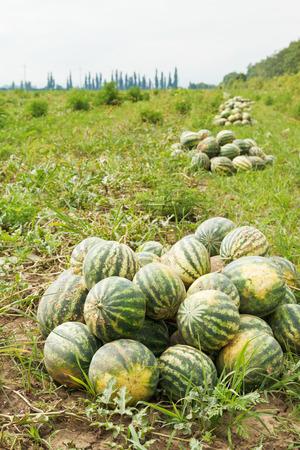 melon field: harvesting of ripe watermelons on melon field in summer