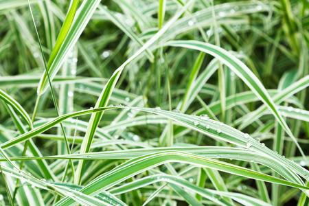 carex: wet green blades of carex morrowii japonica decorative grass after rain