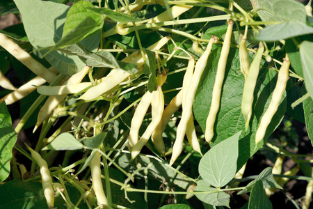 garden bean: ripe pods of common bean plant in garden in summer