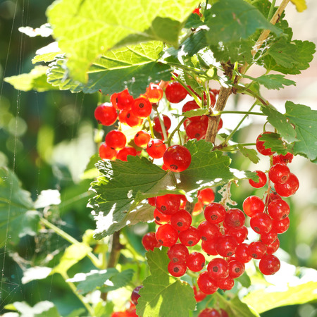 ribes: red currant berries on green bush in garden in summer day
