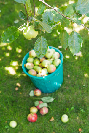 harvesting in orchard and bucket with apples and in summer day Stock Photo