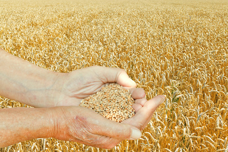 male hands hold handful with seeds on wheat field background photo
