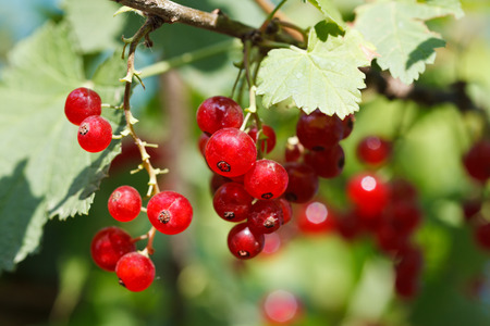 ribes: red currant berries close under green leaves in garden in summer day