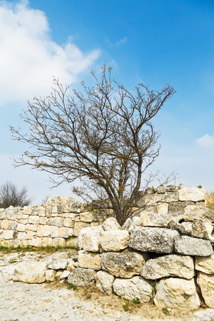 Crimean birch on fortified wall ancient town chufut-kale in autumn, crimea photo