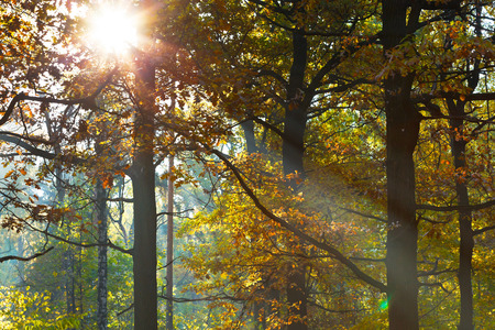 leafage: sun light through leafage in autumn forest