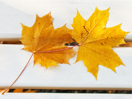 two fallen maple leaves on bench in autumn photo