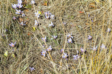 colchicum autumnale: colchicum autumnale (autumn crocus) flower on autumn lawn, Crimea Stock Photo