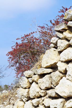 red hawthorn tree on fortified wall ancient town chufut-kale in autumn, crimea photo