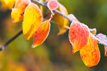frost on yellow, red leaves in autumn forest photo