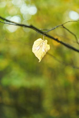 last fallen birch leaf on twig in autumn forest photo