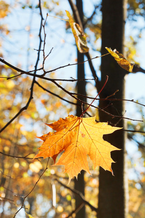 fallen maple leaf on twig in autumn forest photo