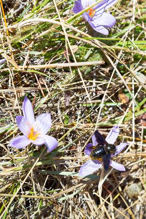colchicum autumnale: bee on colchicum autumnale (autumn crocus) flower in autumn day, Crimea