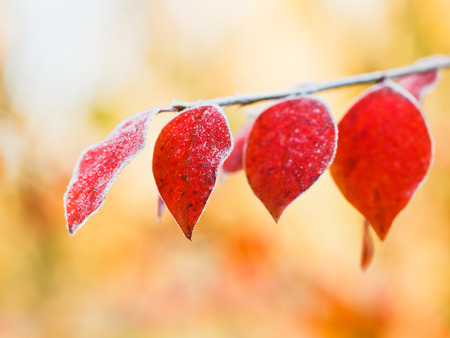 first frost on red leaves in autumn forest photo