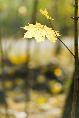 yellow maple leaf on twig in autumn wood photo