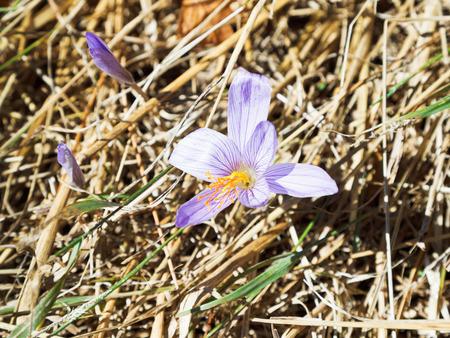 colchicum autumnale: colchicum autumnale (autumn crocus) flower in autumn, Crimea