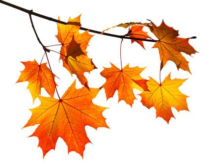 ветвь с желтой и оранжевой осенние листья клена на белом фоне