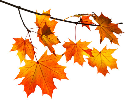branch with yellow and orange autumn maple leaves isolated on white background