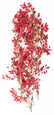 barbery: red berberis twig with ripe fruits on white board Stock Photo