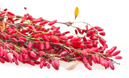 barbery: red berberis branch with ripe fruits on white board