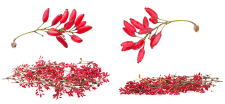 barbery: set of red berberis shoot with ripe fruits on white background