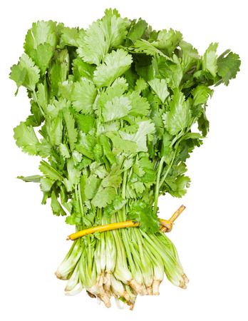 fresh coriander leaves in bunch isolated on white background