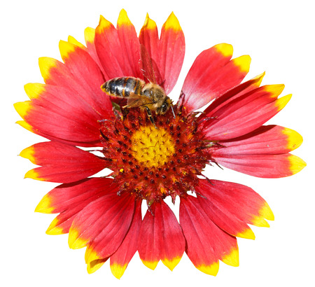 gaillardia flower with honey bee isolated on white background photo