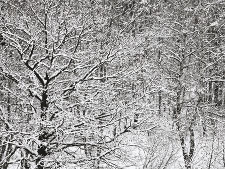 snowbound: above view of snowbound oak and birch forest in winter snowfall