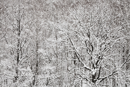 snowbound: above view of snowbound oak and birch woods in winter snowfall