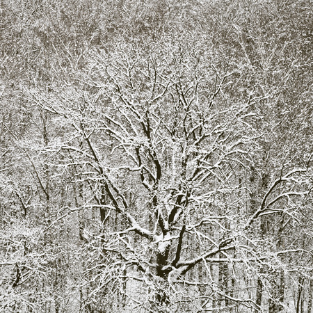 above view of snowbound oak in forest after winter snowfall photo