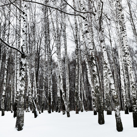 snowy white birchwood in cold winter day photo