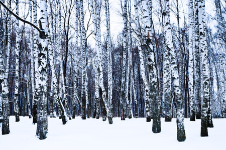 snowy birch grove in cold winter day photo