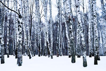 snowy birch grove in cold winter day photo