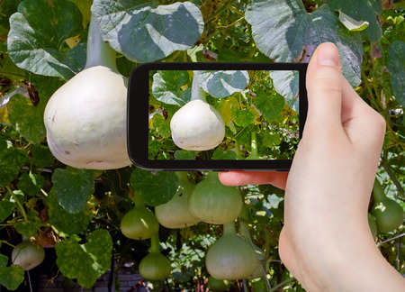 gourds: travel concept - tourist taking photo of bottle gourds on vine on mobile gadget