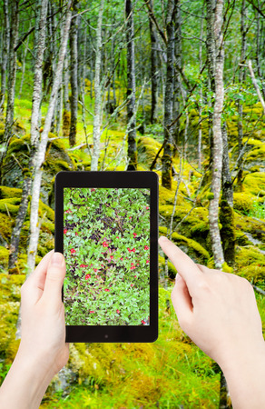 mountain cranberry: travel concept - tourist taking photo of Cranberry шт wild forest in mountain of Norway on mobile gadget Stock Photo