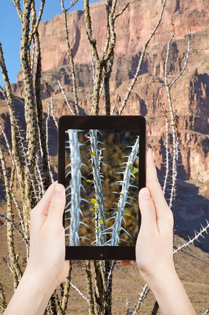 peyote: travel concept - tourist shooting photo of cactus in Grand Canyon on mobile gadget, , Nevada, USA Stock Photo