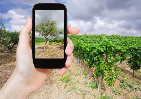 region sicilian: travel concept - tourist taking photo of olive garden and vineyard on gentle slope in Etna region, Sicily on mobile gadget, Italy