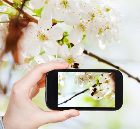 taking photo: travel concept - tourist taking photo of bee on cherry flowers in woods in spring on mobile gadget Stock Photo