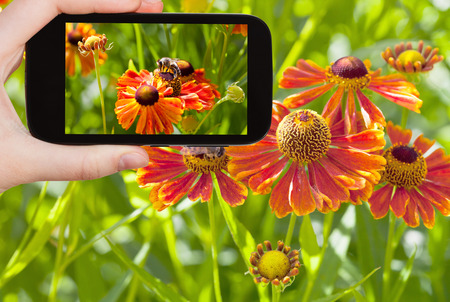 travel concept - tourist taking photo of honey bee collecting nectar from gaillardia flower close up in summer on mobile gadget photo