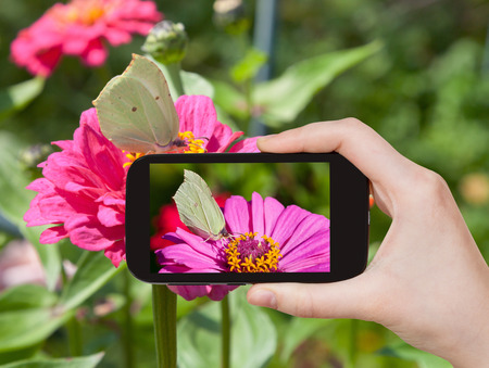 gonepteryx rhamni: travel concept - tourist taking photo of butterfly Brimstone on pink Zinnia flower on mobile gadget