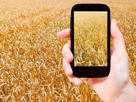 travel concept - tourist taking photo of ripe wheat field on mobile gadget on Kuban photo