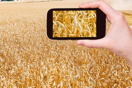 kuban: travel concept - tourist taking photo of ears of ripe wheat field on mobile gadget on Kuban