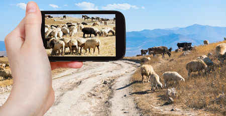 travel concept - tourist takes picture of flock of sheep grazing on autumn grass in mountain Armenia on smartphone, photo