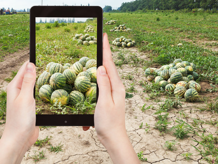 melon field: travel concept - tourist takes picture of harvesting of ripe watermelons on melon field in summer on smartphone, Stock Photo
